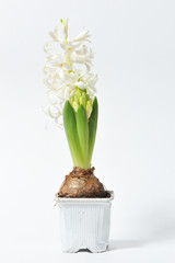 Beautiful and fresh hyacinth of white color in a pot on a white background
