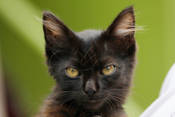 Black furry kitty with yellow eyes portrait