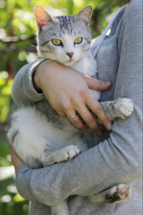 Gray and white cat with yellow eyes in woman's hands