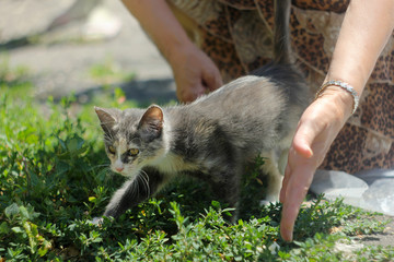 Gray and white kitty with yellow eyes in woman's hands