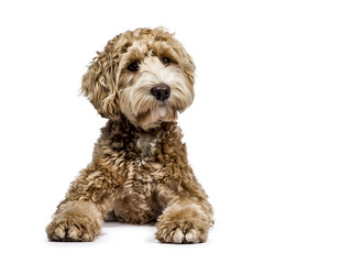Golden Labradoodle laying down with closed mouth and looking sideways  isolated on white background Wall mural
