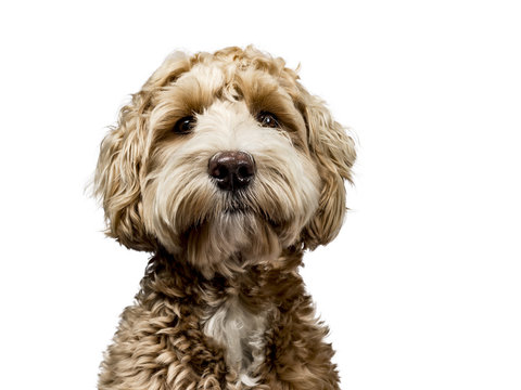 Head shot of golden Labradoodle with closed mouth, looking straight at camera isolated on white background