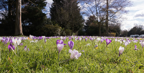 Crocuses bloom in a spring park. Concept: the first spring flowers.