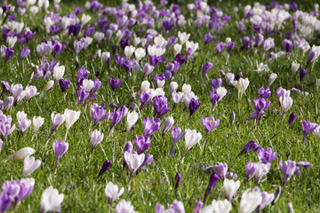 Image of blooming beautiful crocuses. Concept: early spring.