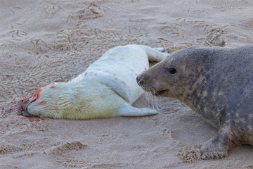 A dead new born Grey Seal pup, Halichoerus grypus, with its mum at the breeding grounds in North Norfolk.