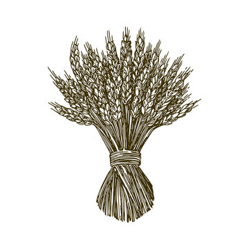 Sheaf of wheat. Engraving style. Vector illustration.