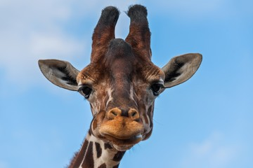 Giraffe looking at the camera close up