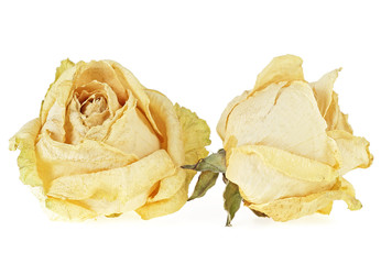 Two dry white roses on a white background