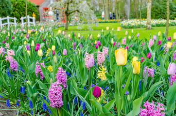 Purple hyacinths blooming in spring among colorful flower field of tulips at Keukenhof garden in Netherlands.