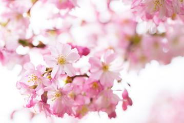 Äste mit blühenden japanischen Kirschblüten
