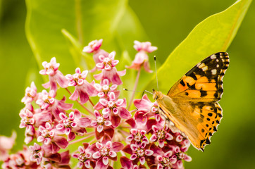 The painted lady butterfly (Vanessa cardui) on Purple flowers