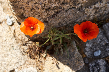 Red poppies on the background of stones. Portugal