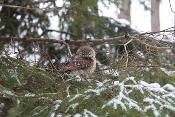 Northern Saw-whet Owl (Aegolius acadicus) in real wilderness (dt: Sägekauz)