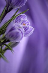 Violet flowers with droplets on a violet background