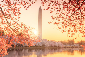Fototapete - Washington Monument during the Cherry Blossom Festival