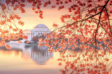 Fototapete - Jefferson Memorial during the Cherry Blossom Festival