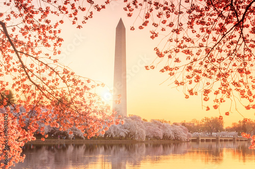 Wall mural Washington Monument during the Cherry Blossom Festival