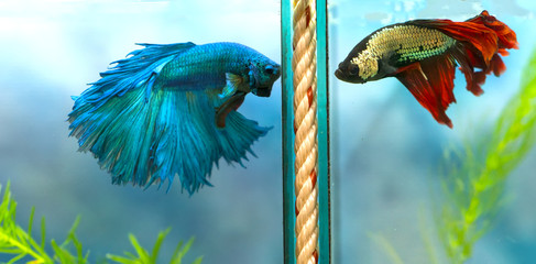 Halfmoon betta Colorful fight in fish tank. This is a species of ornamental fish used to decorate the scene in the house
