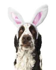 Springer Spaniel Lookin Up With Bunny Ears.