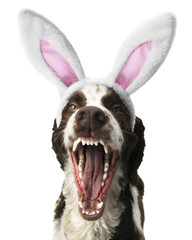Springer Spaniel With Open Mouth and Bunny Ears.