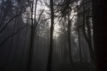 Fog in a Dense Forest