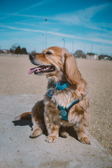 Happy golden mix dog at the park in the sun