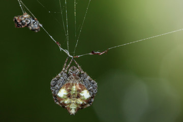Image of Laglaise's Orb-weaver Spider(Eriovixia laglaizei) on the spider web. Insect. Animal.