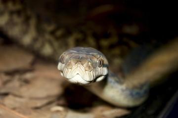 Close-up of a snakes face Carpet Python (Morelia spilota)