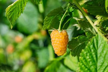 Raspberry ripe, yellow on a green bush