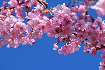 桜、サクラ、満開の河津桜、青空