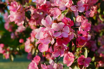 Pink flowering tree over nature background / Spring tree / Spring Background.