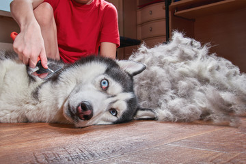 Concept molting pet. Grooming undercoat dog. Boy combs wool from Siberian husky. Husky dog looks crazy with frightened eyes.