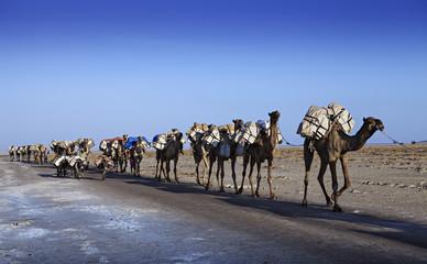 camels carvan in ethiopian desert