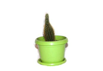 Cactus in a green pot, isolate