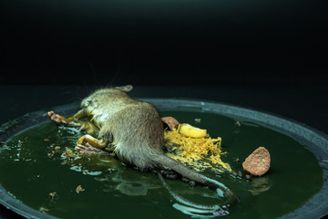 A mouse in a trap on black background