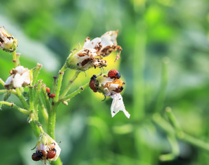 an unpleasant slippery red insects pests are the larvae of the Colorado potato beetle was obladali green shoots and flowers growing in the garden