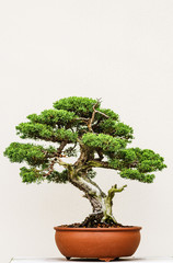 Elegant bonsai tree