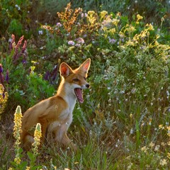 Little Fox yawns while sitting in the grass