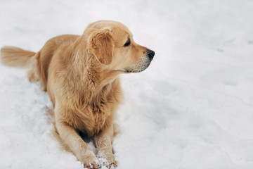 Picture of labrador sitting on snow at winter walk