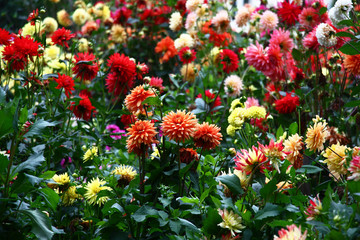 Flower bed with dahlias./In a flower bed a considerable quantity of flowers dahlias with petals in various colors.