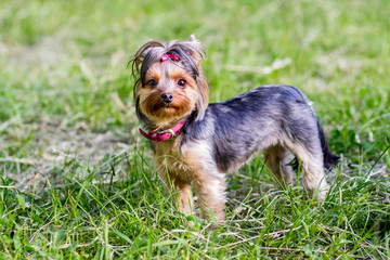 Сlose up portrait of pretty sweetl little dog Yorkshire terrier