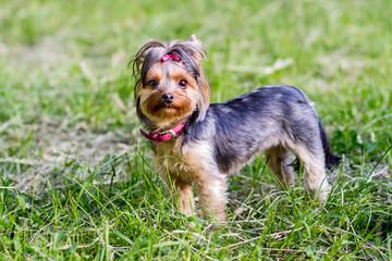 Сlose up portrait of pretty sweetl little dog Yorkshire terrier