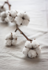 Delicate white cotton flowers on white background