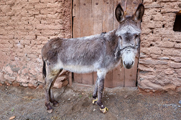 One donkey stands near the door of a clay building.