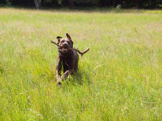 Labrador rennt mit Stock im Maul über eine grüne Wiese