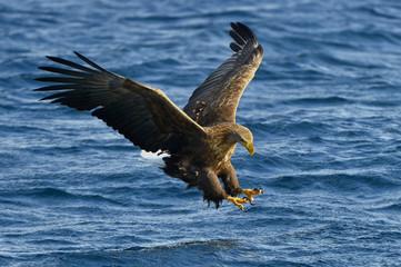 White-tailed eagle in flight, fishing. Adult white-tailed eagle (Haliaeetus albicilla), also known as the ern, erne, gray eagle, Eurasian sea eagle and white-tailed sea-eagle