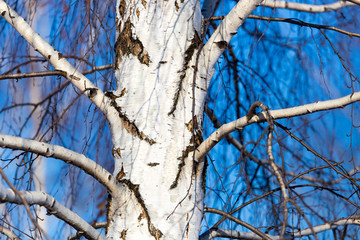 Trunk of a birch against a blue sky
