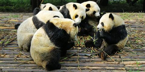 Fotobehang Panda panda eating bamboo