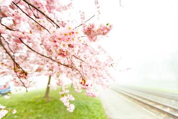 Sakura flowering tree at spring foggy morning
