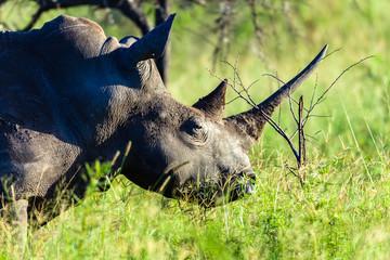 Rhino Wildlife Animal Closeup wilderness safari park late in the day.